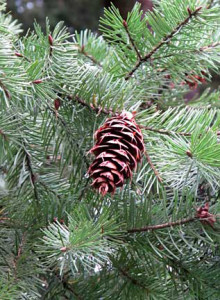 Douglas Fir photo by Joanie Beldin
