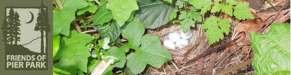 Brown Eyed Junco nest