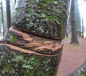 Tree-damage-on-branch