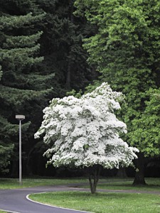 Dogwood tree at Pier Park