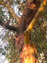 Madrone-peeling-bark
