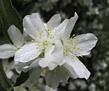 Mock orange closeup