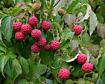 dogwood fruit