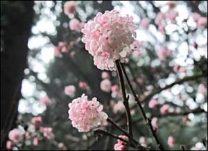 Viburnum-flowers