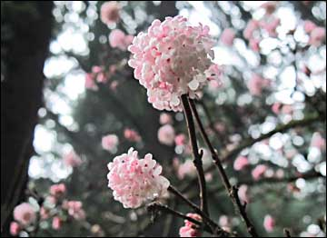 Pink dawn viburnum x bodnantense friends of pier park pink dawn viburnum x bodnantense viburnum flowers mightylinksfo