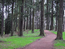 Douglas Fir forest at Pier Park