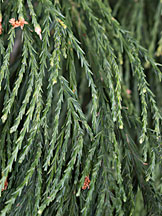 Detail of sequoia scale-like leaves.