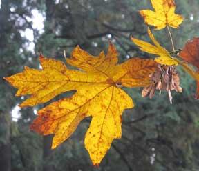 big-leaf-3