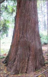 cedar-trunk