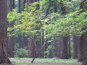 vine-maple-green-tree