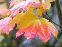 vine-maple-leaf