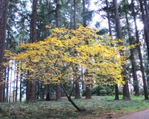 vinemaple-fall-tree