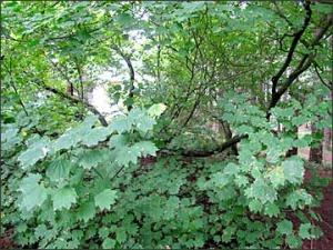 vinemaple-green