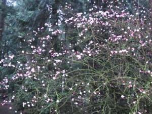 Viburnum-shrub