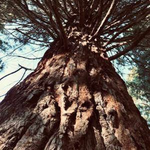 Base of a Sequoia in the Sequoia Grove at Pier Park.