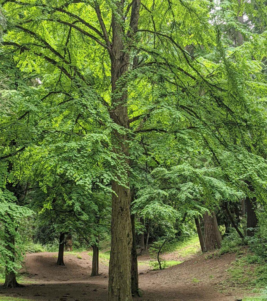 Katsura Tree at Pier Park