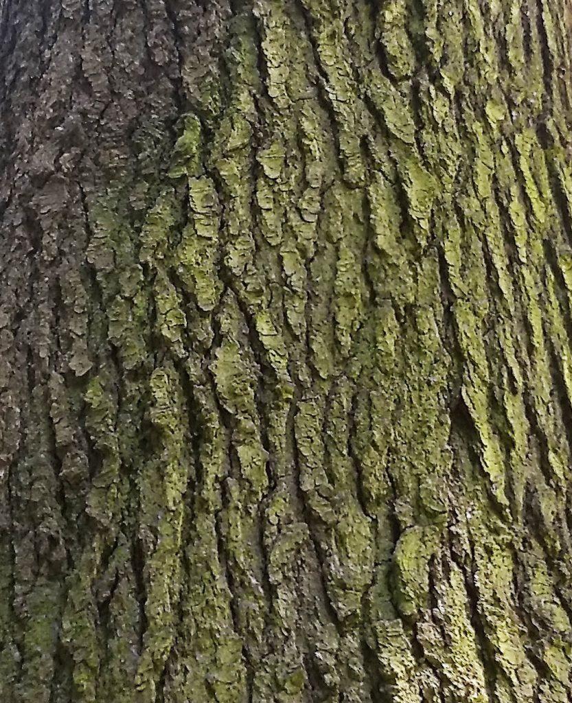 Grand Fir bark - photo by Joanie Beldin