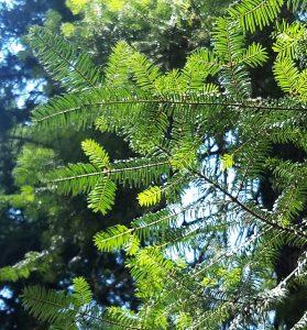 Grand fir needles - photo by Joanie Beldin
