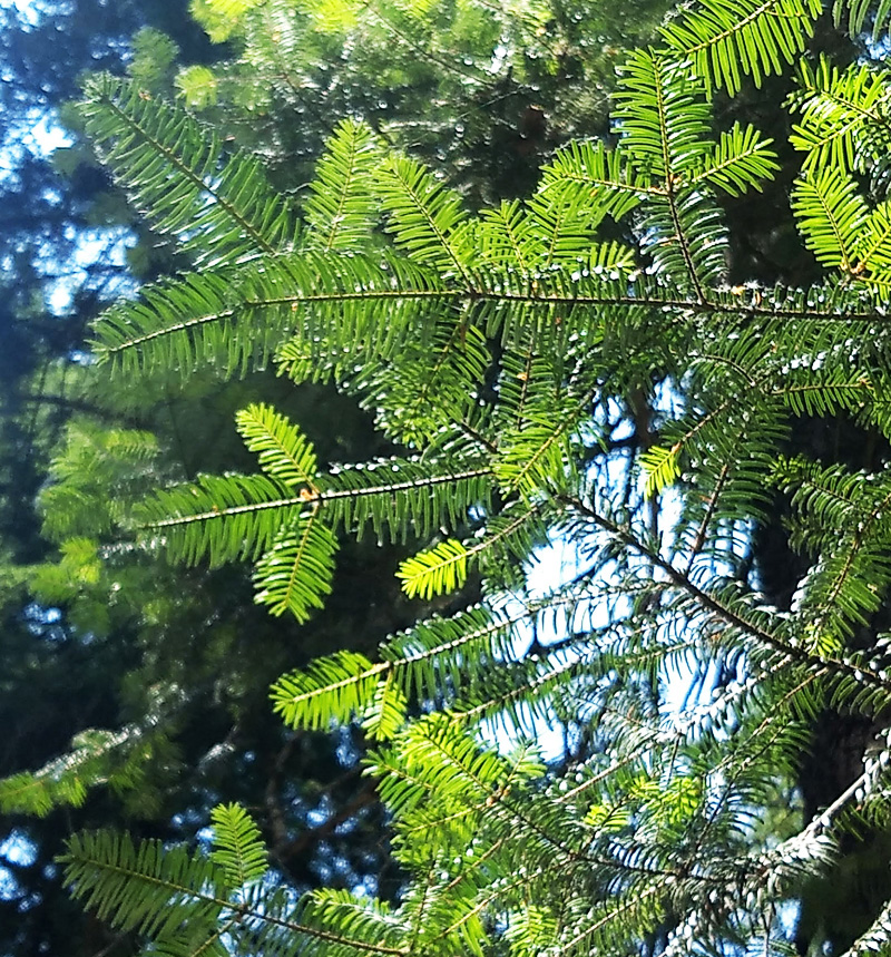 Grand fir needles - photo by Joanie Beldin